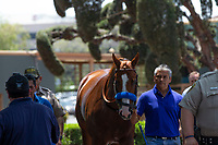 """ARCADIA, CA  JUNE 23: Justify and groom Eduardo Luna enter the paddock on """"Justify Day"""" on June 23, 2018 at Santa Anita Park in Arcadia, CA.  (Photo by Casey Phillips/Eclipse Sportswire/Getty Images)"""