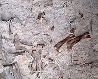 Pre-historic fossil bones embedded in rock; Dinosaur National Monument, CO