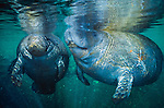 West Indian Manatees, Homosassa Springs Wildlife State Park, Florida