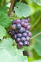 Grape 'Seibel 13053' (syn. Vitis vinifera 'Cascade'), early September.