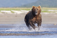 Yellow Tag #132 hunts. Kodiak grizzly bear (Ursus arctos middendorffi), Hallo Bay