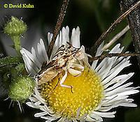 0910-06mm  Ambush bug - Phymata spp. Virginia - © David Kuhn/Dwight Kuhn Photography