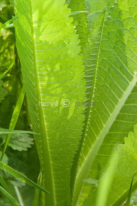 cardère = cabaret des oiseaux (Dipsacus fullonum) : feuilles à nervure centrale épineuse // leaves of Fuller's teasel or wild teasel (Dipsacus fullonum, syn. Dipsacus sylvestris)