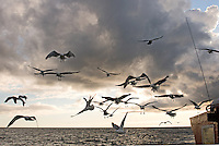 Herring Gulls flying by a fishing boat looking for dinner