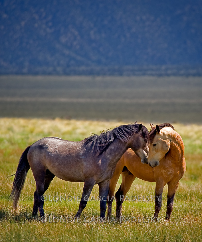 Mustangs nuzzling each other, Adobe valley, Eastern Sierra, California