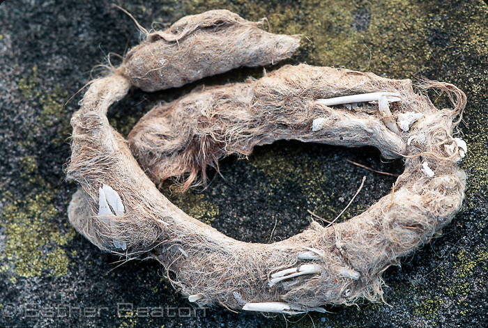 Fox scat, dried, revealing diet of small animals by the bones and fur.