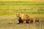 A mother brown bear stares down another bear as it approaches, while her three six month old cubs hide behind her for security in Lake Clark National Park, Alaska.  Photo by Gus Curtis.