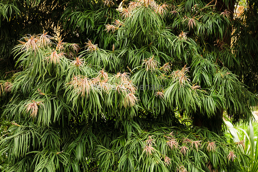 France, Alpes-Maritimes (06), Menton, jardin Serre de la Madone :.Podocarpus henkelii