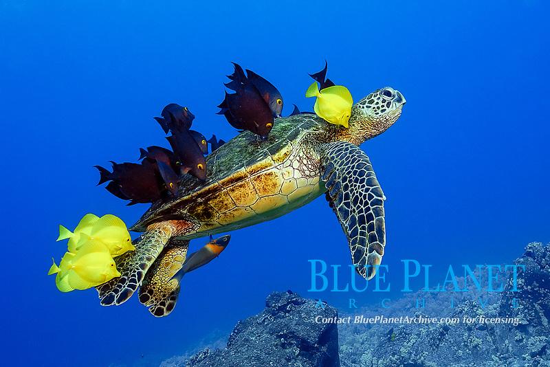 Green sea turtle, Chelonia mydas, gets cleaned by yellow tangs, Zebrasoma flavescens and lined bristletooth, Ctenochaetus striatus, Kailua Kona, Big Island, Hawaii, USA, Pacific Ocean