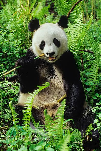 Giant Panda (Ailuropoda melanoleuca) in central China.