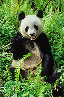Giant Panda (Ailuropoda melanoleuca) in central China.