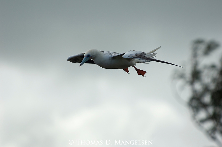 Red-footed Booby in flight.