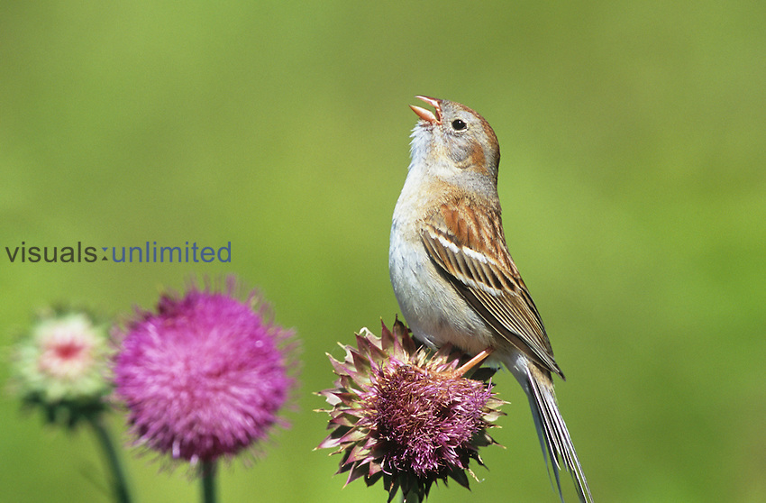 Field Sparrow (Spizella pusilla) singing on a Thistle flower (Cirsium), North America.