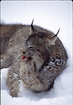 Lynx grooming in snow
