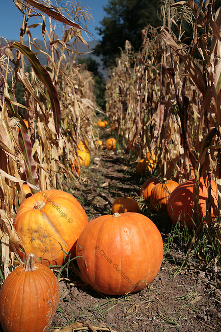 Stock Photo of October Cornfields with Pumpkins in their rows.