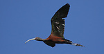 A White-faced Ibis flies over Little Washoe Lake, in Washoe State Park. Washoe Lake State Park, established in 1977, is one of 25 in the Nevada state parks system and is home to many forms of wildlife. The 4,115-acre park, in Washoe Valley, Nevada, is popular with bird watchers, as the park is home to hundreds of migratory and resident species as well as other creatures common to the Great Basin. <br /> Photo by Cathleen Allison