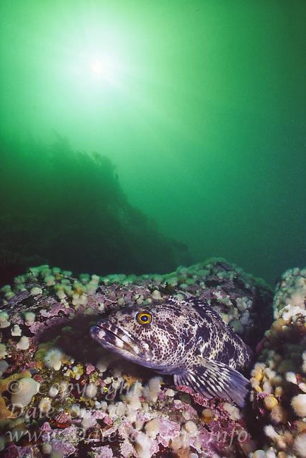 Lingcod (Ophiodon elongatus) in Hayden pass, Clayquot Sound, British Columbia, Canada.