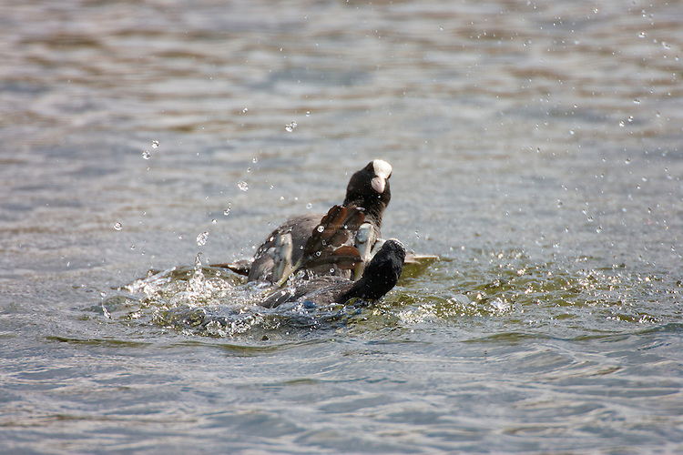 Coot (Fulica atra) territorial fighting. They are aggressively territorial during the breeding season, frequently in water the object is to drown, or hold under water the opponent. Lancashire, UK