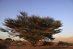 Israel, Arava region, Acacia tree in Evrona