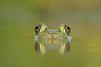 Bullfrog (Rana catesbeiana), adult in lake, Fennessey Ranch, Refugio, Coastal Bend, Texas Coast, USA