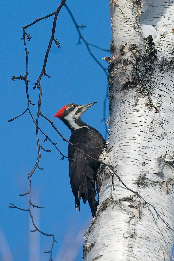 A pileated woodpecker (Dryocopus pileatus) on a white birch tree in Michigan's Upper Peninsula.