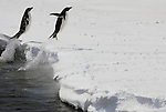 Adelie Penguins jumping out of the sea onto the ice on their way to their nests.