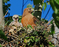 Courtesy photo/TERRY STANFILL<br /> When Stanfill photographs birds, he strives to get a catch light in an eye, such as in this picture of a red-shouldered hawk and young. The light makes a more lifelike photograph.
