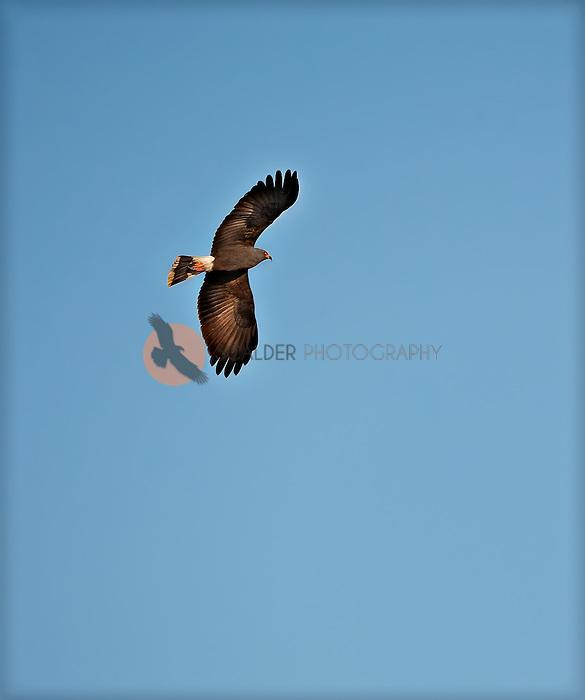Male Snail Kite Soaring against Blue Sky