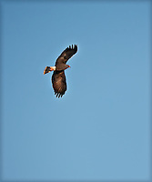 Male Snail Kite Soaring against Blue Sky