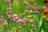 Swallowtail Butterfly on Scabosias, pincushion flower, in field of mixed wildflowers, Missouri