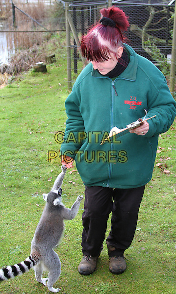 Keeper Kathy with Ring Tailed Lemur.Annual Stocktake of all species at the UK's biggest Zoo, ZSL Whipsnade Zoo, Dunstable, Bedfordshire, England..January 10th 2012.animal animals full length green top looking down black hand feeding clipboard .CAP/JIL.©Jill Mayhew/Capital Pictures