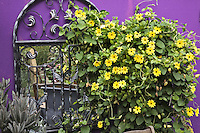 A black eyed Susan vine and a mirror are set off by a purple wall in Dan Johnson's Denver garden.