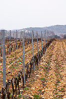 Domaine Le Nouveau Monde. Terrasses de Beziers. Languedoc. Vines trained in Cordon royat pruning. In the vineyard. France. Europe. Mountains in the background.