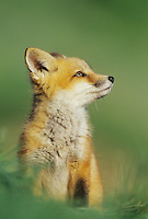 Red Fox (Vulpes vulpes), young, Colorado, USA