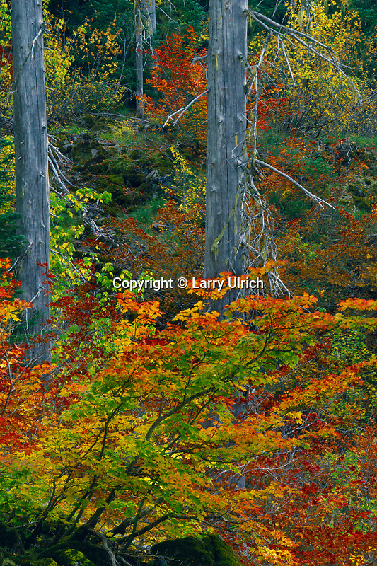 Vine maples and firs in Pansy Basin<br /> Bull of the Woods Wilderness<br /> Mt. Hood Natioal Forest<br /> Cascade Range, Oregon
