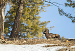 A bighorn sheep ram lies at the top of a hill with a magpie in Yellowstone National Park in Wyoming, USA, on Feb 5Th 2015. Photo by Gus Curtis.