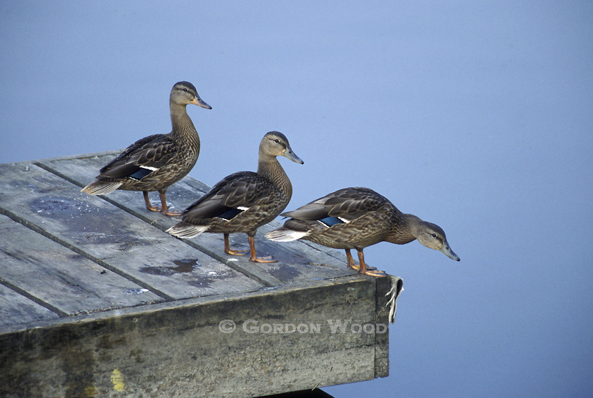 Three Ducks on a Dock
