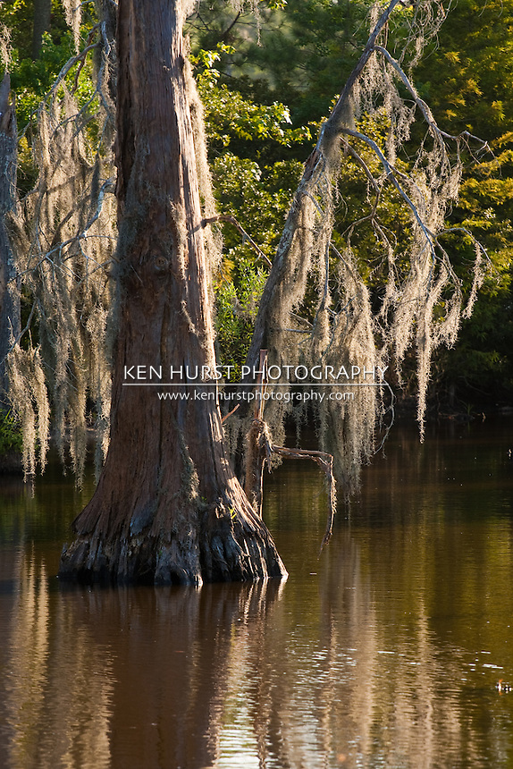 Spanish moss, Tillandsia usneoides, growing on bald cypress trees in the swamp bogs at Sam Houston Jones State Park, Lake Charles, Louisiana.