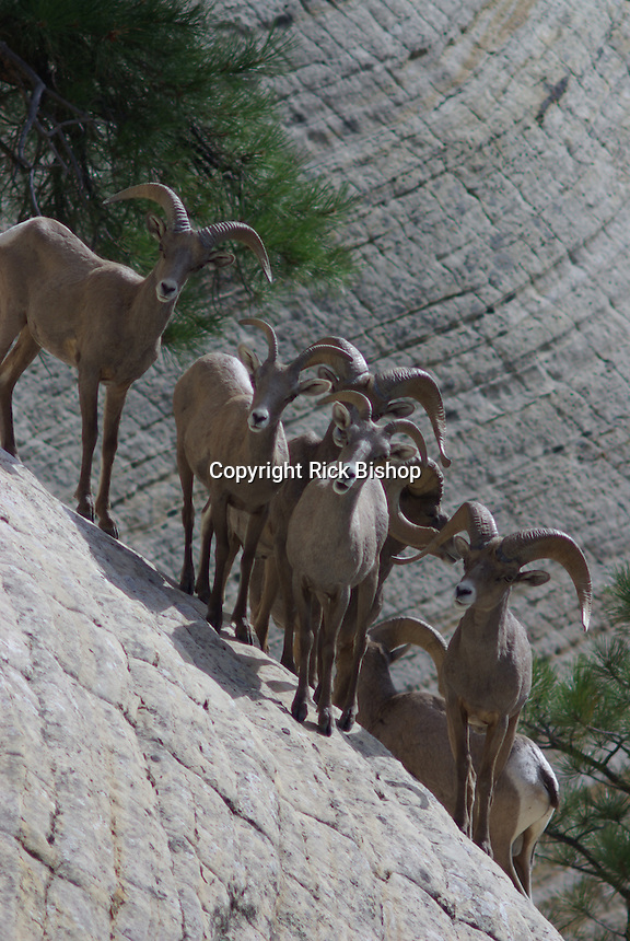 Desert Bighorn Sheep seen on rock walls in southern Utah's Zion national Park on a summer day.