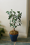 FICUS MICROCARPA 'GINSING' TRAINED, INDIAN LAUREL FIG, HOUSEPLANT