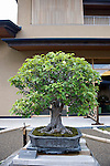 Photo shows a Chinese quince tree  on display at the Saitama Omiya Bonsai Museum of Art in Saitama, Japan on 15 Aug. 2011..Photographer: Robert Gilhooly
