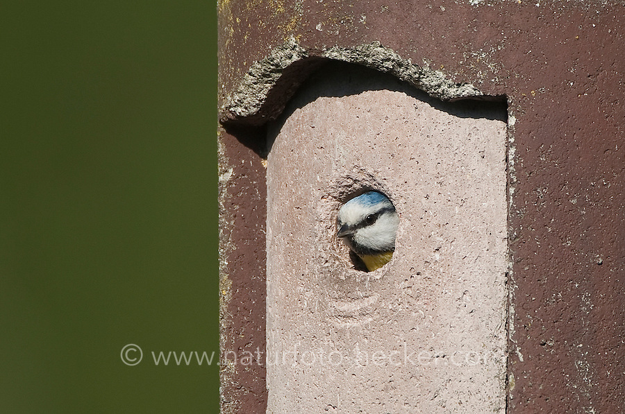 Blaumeise am Nistkasten, Meise, Cyanistes caeruleus, Parus caeruleus, Blue Tit, Mésange bleue