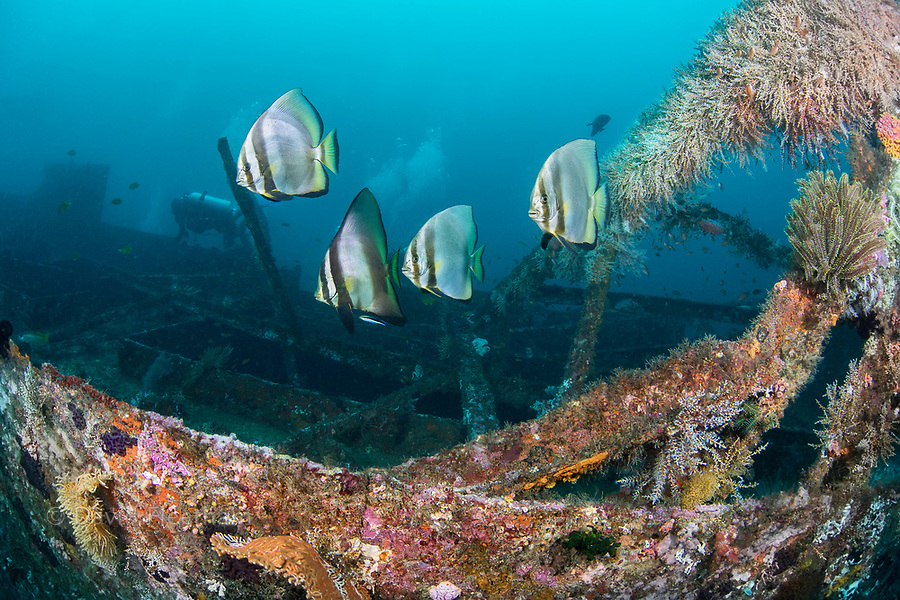 Dusky Batfish, Platax pinnatus, at a cleaning station on the wreck of the Alma Jane off Sabang Beach, Puerto Galera, Mindoro, Philippines.