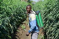ZAMBIA, Mazabuka, tomato farming, spraying of pesticides and fungicides