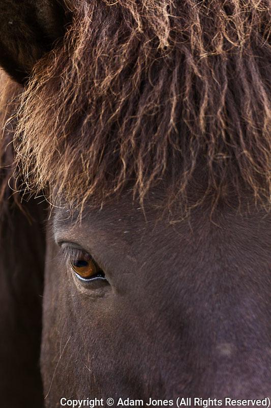 Icelandic horse portrait, Iceland