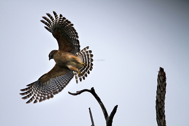 This Red-shouldered Hawk seems to be validating his name by showing off his shoulders.  Flying birds are difficult to photograph successfully but most good photos of flying birds end up depicting motion well.  The perception of motion is enhanced here because the birds body is sharp but his wingtips are softened slightly by motion blur.  This effect is controlled by shutter speed.  The hardest part of photographing wild birds in flight is finding them and getting close enough to them to fill the frame.