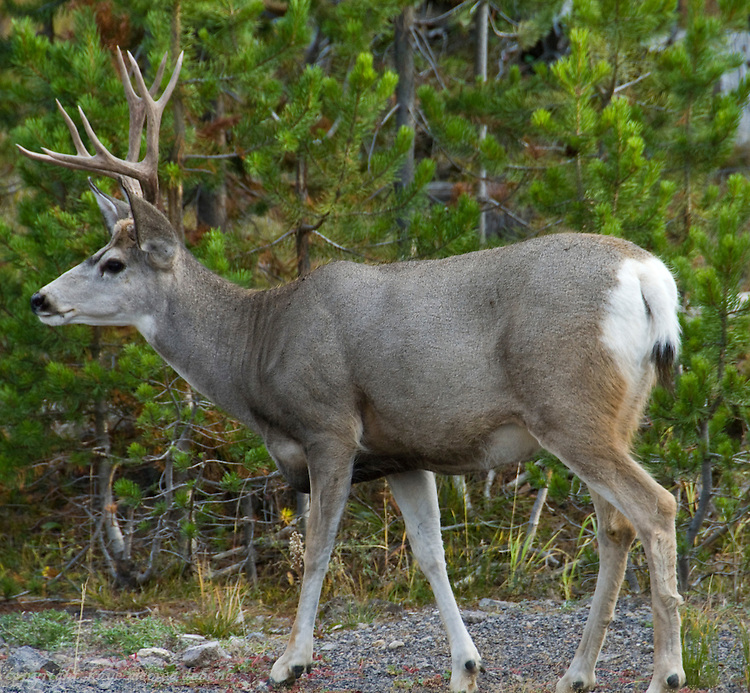 Yellowstone Mule Deer or Black Tail Deer