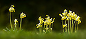Cowslips {Primula veris}, Peak District National Park, Derbyshire, UK. April. Digitally stitched panorama.