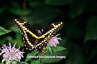 03017-00520 Giant Swallowtail (Papilio cresphontes) on Wild Bergamot (Monarda fistulosa),  Marion Co. IL