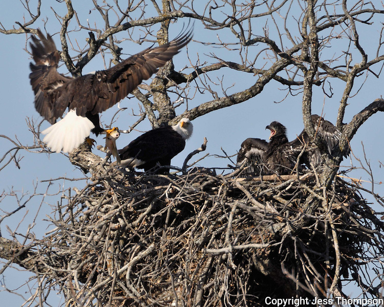 Adult eagle brings fish to the eaglet and other adult in the nest in Llano, TX
